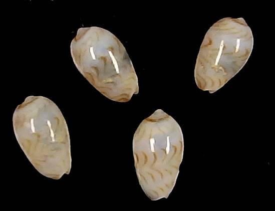 Gibberula lucia - Jousseaume, 1877  Lucia10