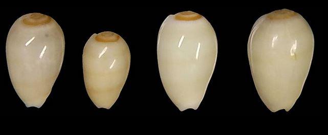 Gibberula miliaria - (Linnaeus, 1758) Milari10