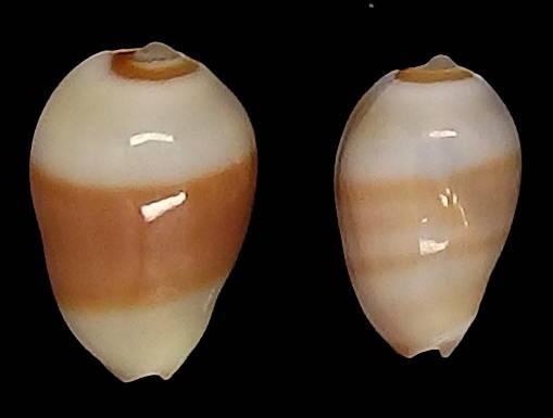 Gibberula oryza - (Lamarck, 1822) Oryz10