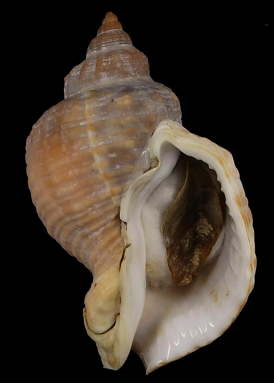 Siphonalia signum - (Reeve, 1846) Siphon11