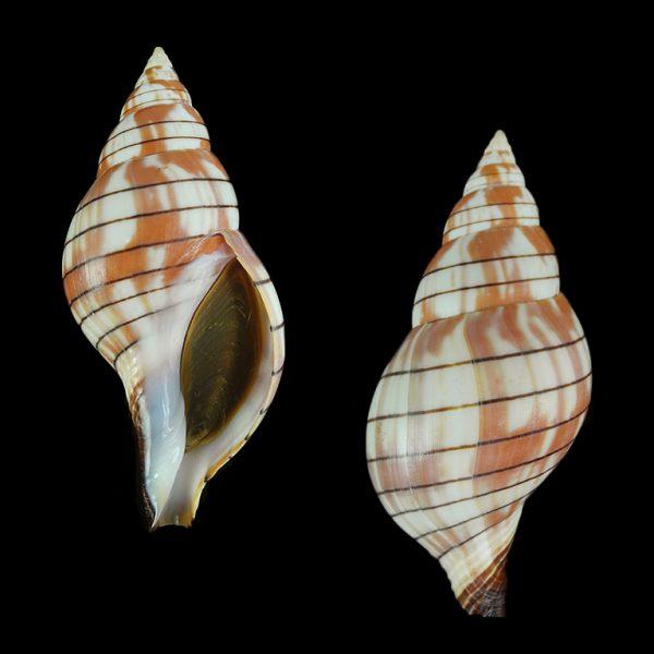 Cinctura tortugana - (Hollister, 1957) Tortug10