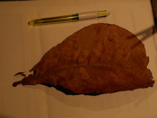 comment utiliser les feuilles de catappa? Dscn0422