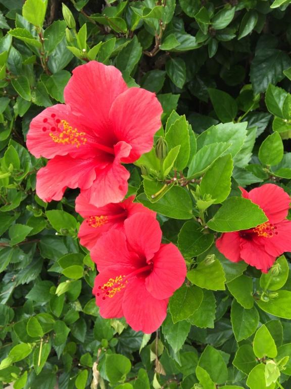Hibiscus rosa-sinensis et hybrides - conseils - Page 2 Img-4310