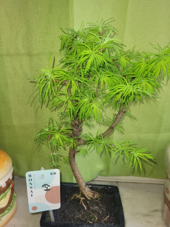 Consigli su nuovo bonsai  20210428