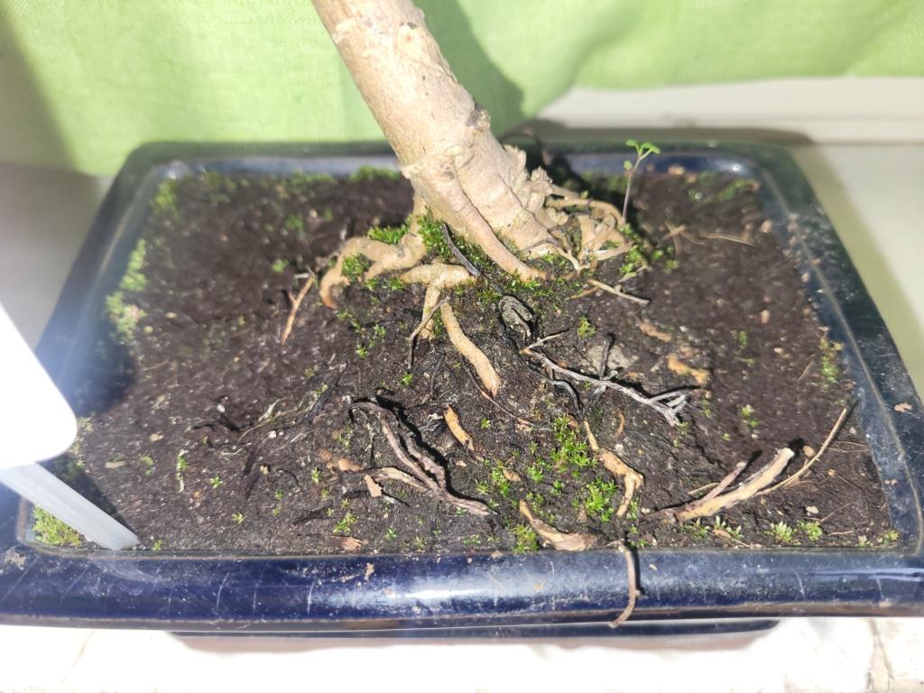 Consigli su nuovo bonsai  20210429