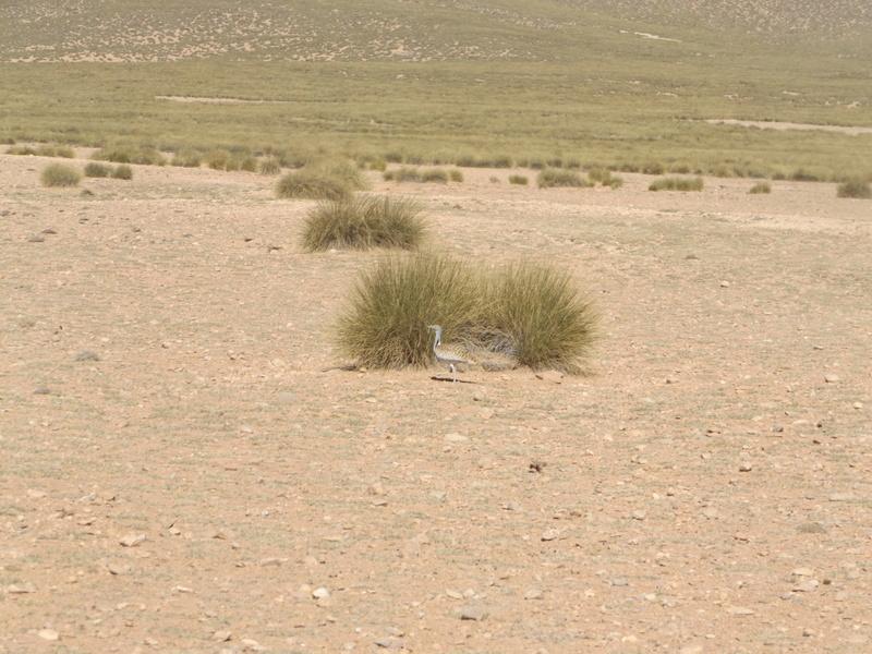 [Le désert] les Outardes Dscf0210