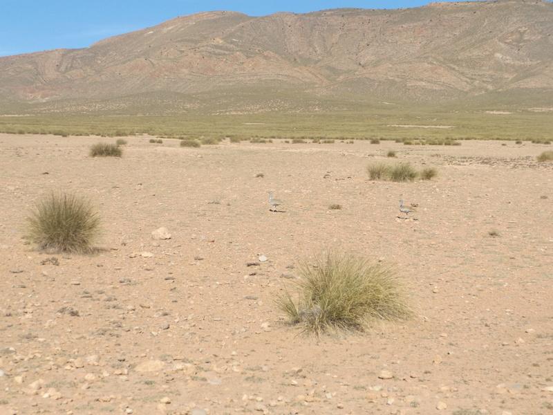 [Le désert] les Outardes Dscf0211