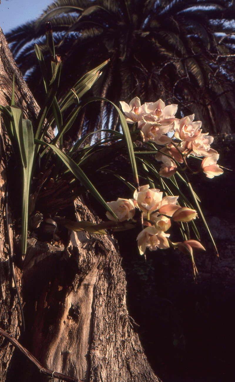 Platycerium - le genre - fougère épiphyte  1991_j10