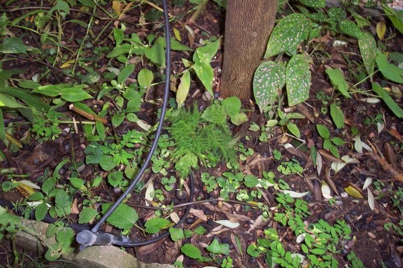 Asparagus setaceus (= Asparagus plumosus) Aspara10