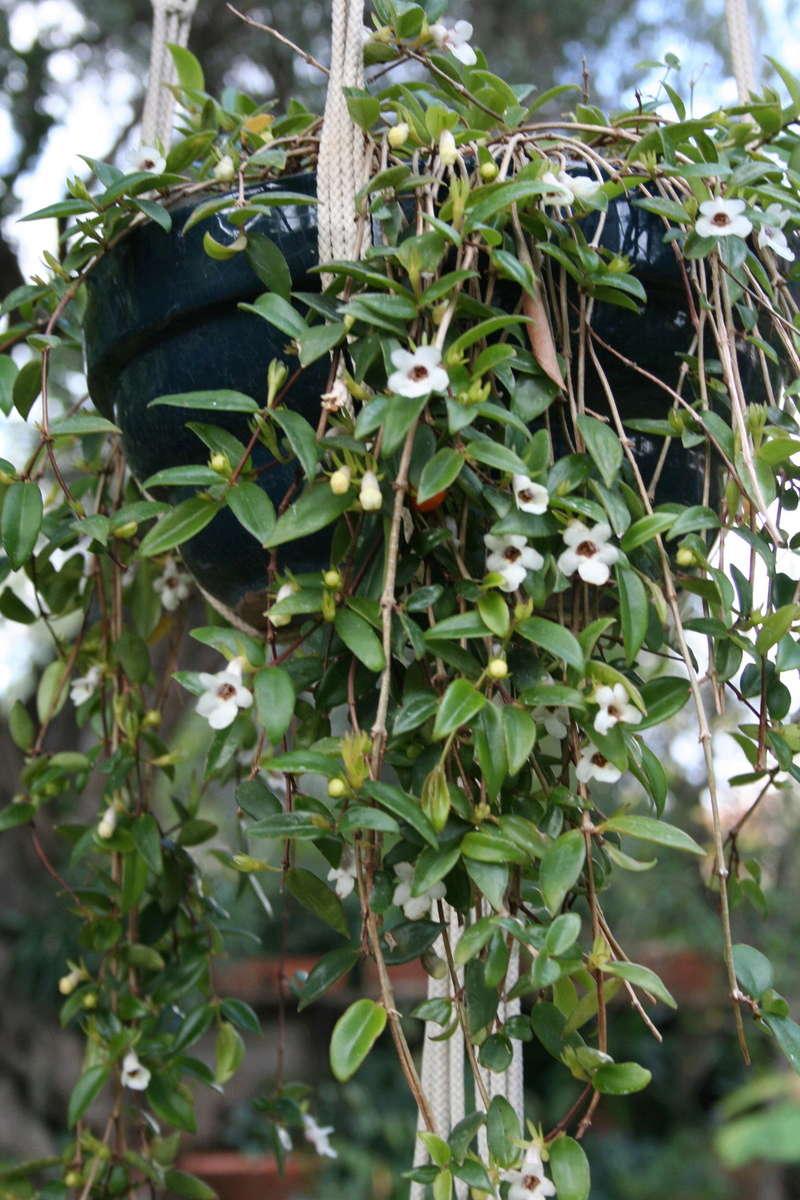 Codonanthe gracilis Codona11
