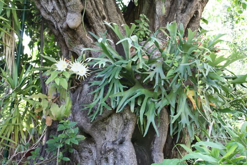 Platycerium - le genre - fougère épiphyte  Gros_o10