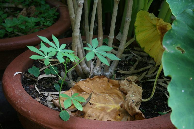 Manihot esculenta et carthaginensis (= grahamii) Maniho10