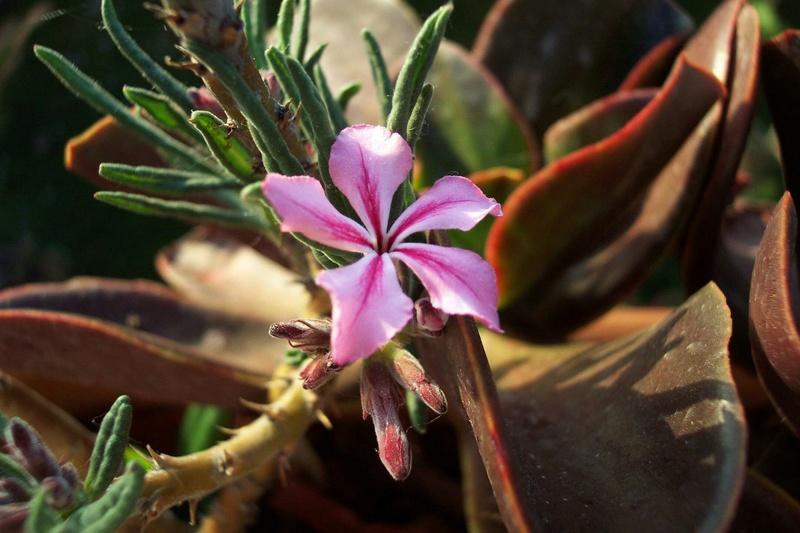 Pachypodium succulentum Pachyp11
