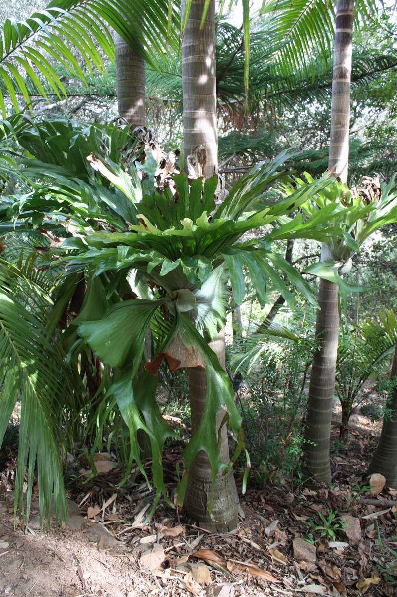 Platycerium - le genre - fougère épiphyte  Platyc10