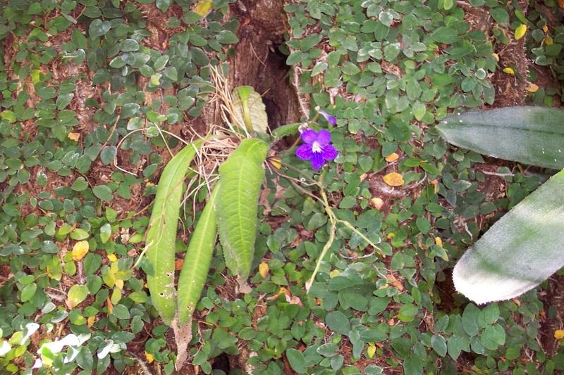 Tetranema roseum Strept10