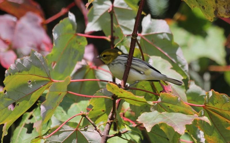 Paruline à gorge noire femelle Img_5212