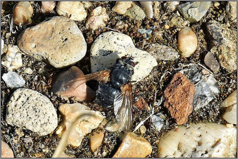 Tachinidae ? [Nemoraea pellucida] Eurith10