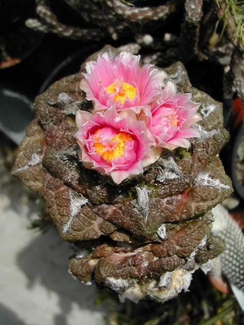 Seconde vague de floraison chez les cactus fin juin Dscn6217