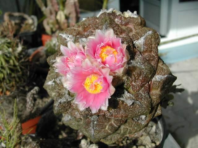 Seconde vague de floraison chez les cactus fin juin Dscn6218