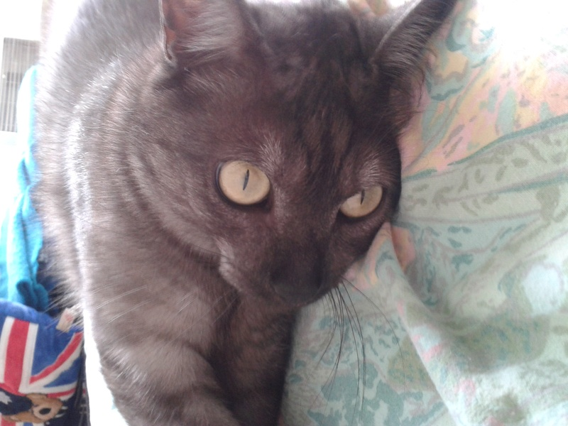 LIXOU, jeune chat européen, robe smoke, né en janvier 2015 20160810