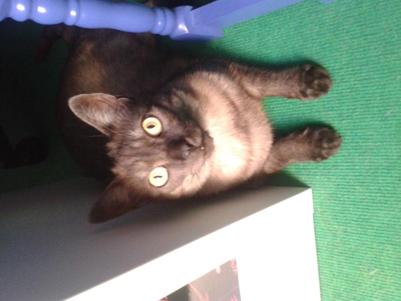 LIXOU, jeune chat européen, robe smoke, né en janvier 2015 20160813