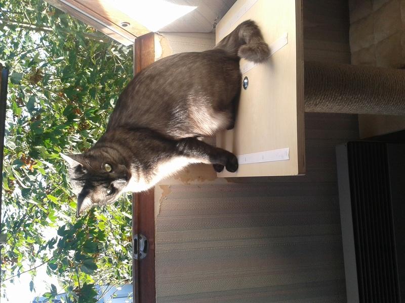 LIXOU, jeune chat européen, robe smoke, né en janvier 2015 20160910