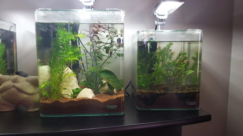Mes aquariums de betta splendens - Page 2 20160911