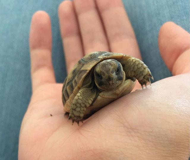 Identification de deux tortues juvéniles Captur10