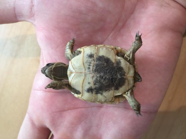 Identification de deux tortues juvéniles Img_3223