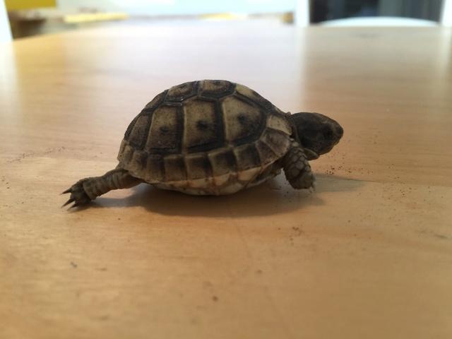 Identification de deux tortues juvéniles Img_3227
