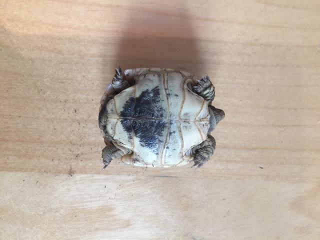 Identification de deux tortues juvéniles Img_3228