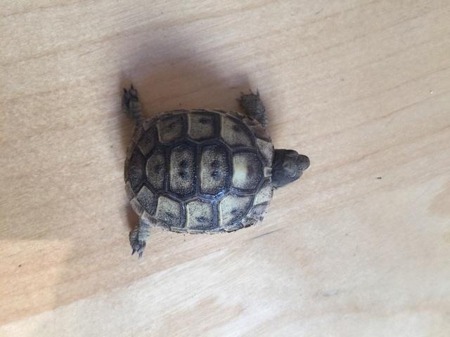 Identification de deux tortues juvéniles Img_3229