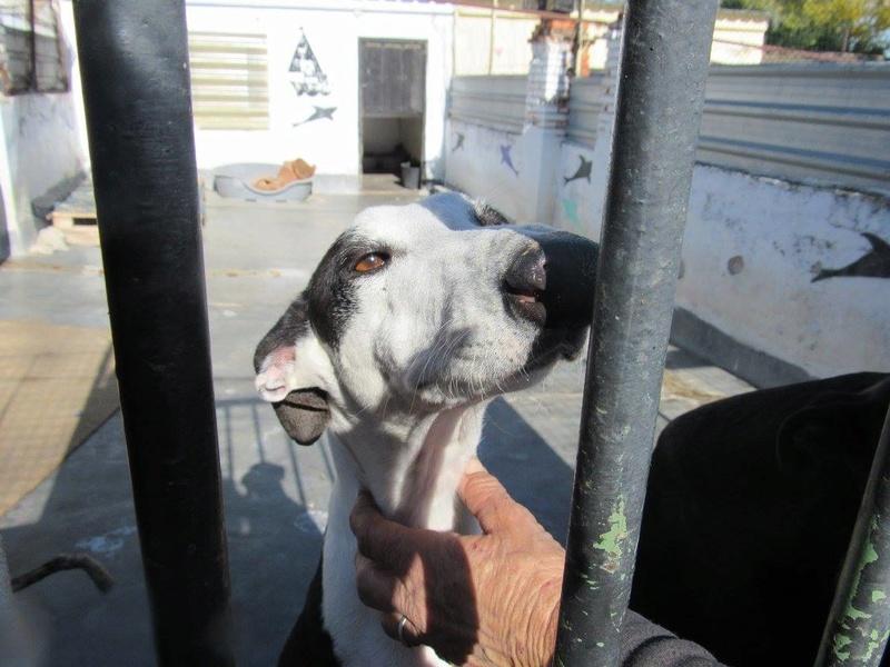 PIRATA sublime galga noire et blanche Scooby France  Pirata10