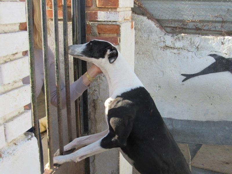 PIRATA sublime galga noire et blanche Scooby France  Pirata11