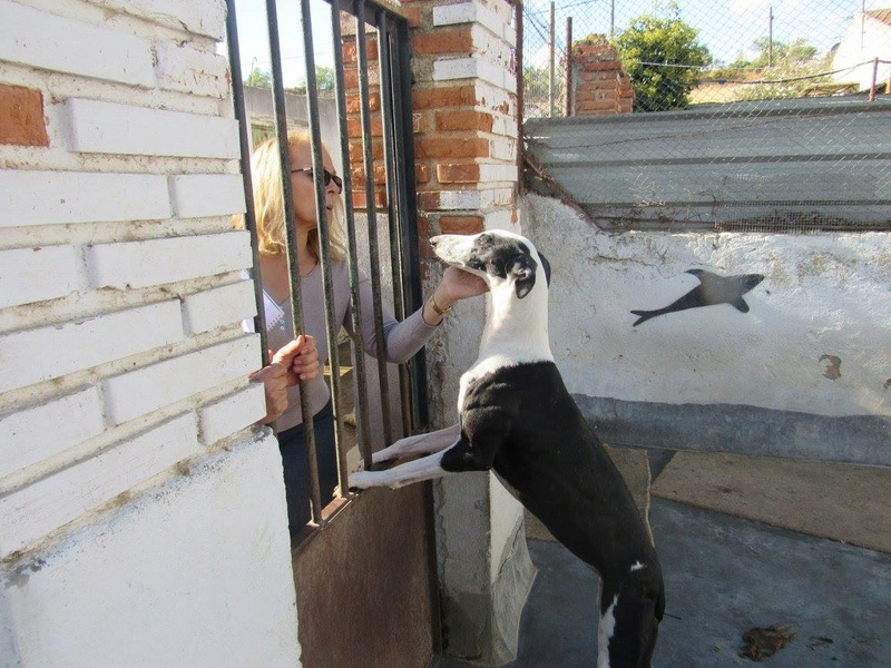 PIRATA sublime galga noire et blanche Scooby France  Pirata12
