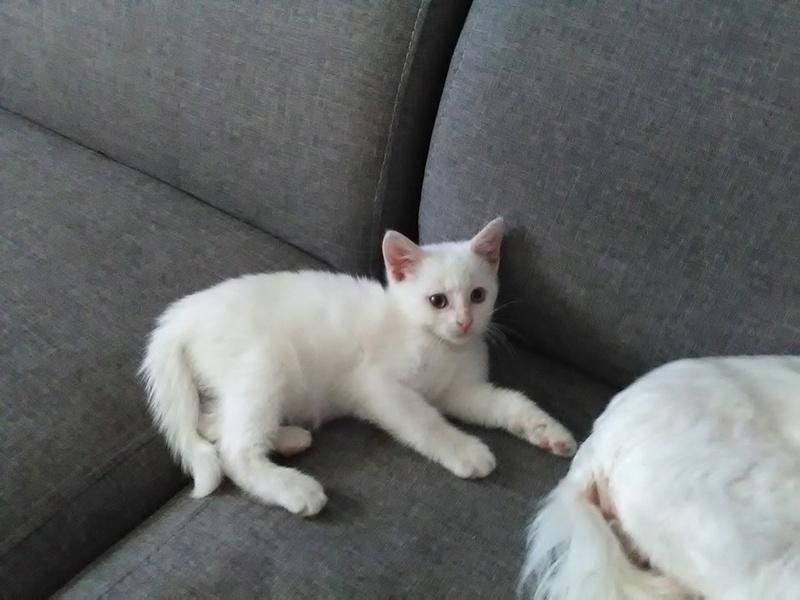 MUSHU, Chaton mâle blanc de 2 mois 14900310