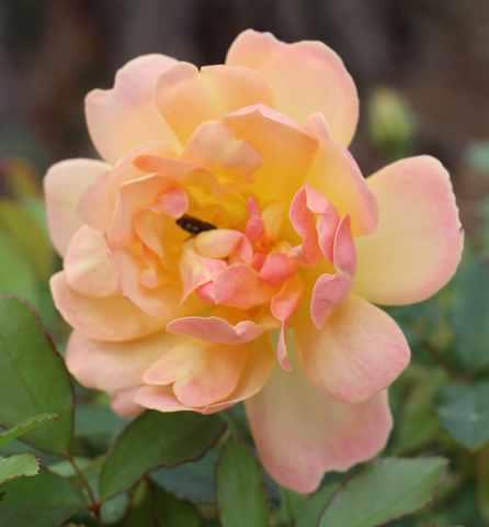 Rosa 'Phyllis Bide' !!! - Page 4 06102018