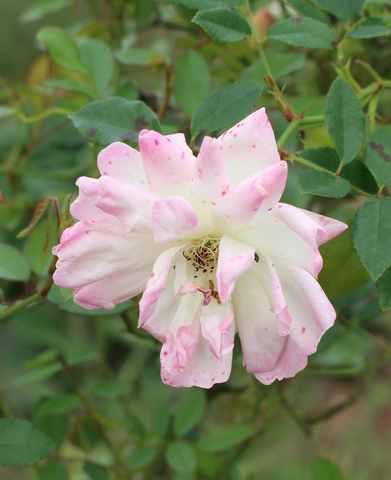 Rosa 'Phyllis Bide' !!! - Page 4 06102019