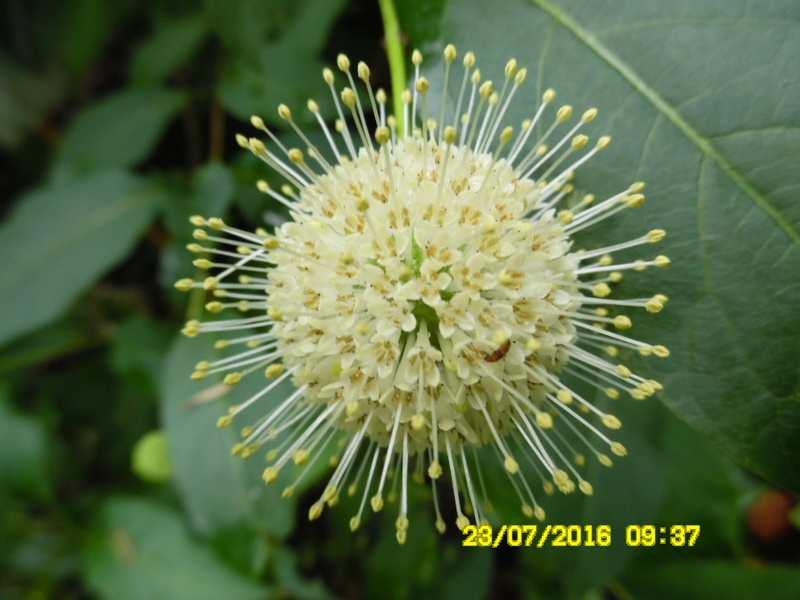 nouvelle plante boule fleurie Sam_0710