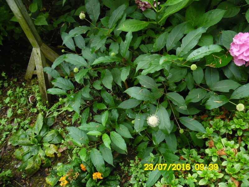 nouvelle plante boule fleurie Sam_0711