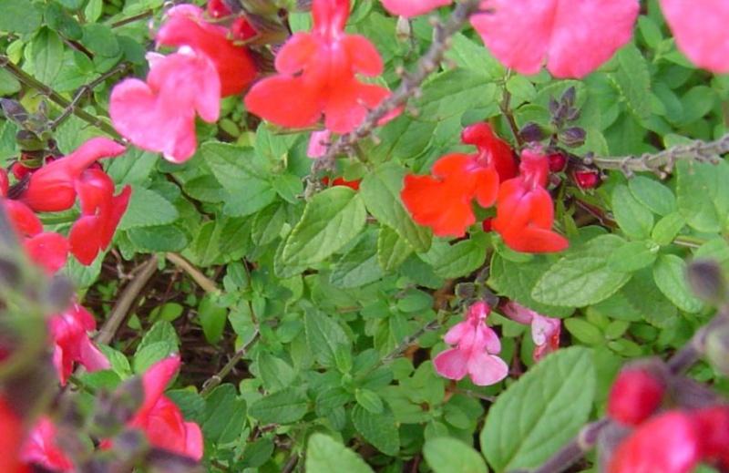 [Salvia microphylla] arbuste à déterminer Arbust10