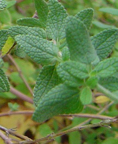 [Salvia microphylla] arbuste à déterminer Arbust11
