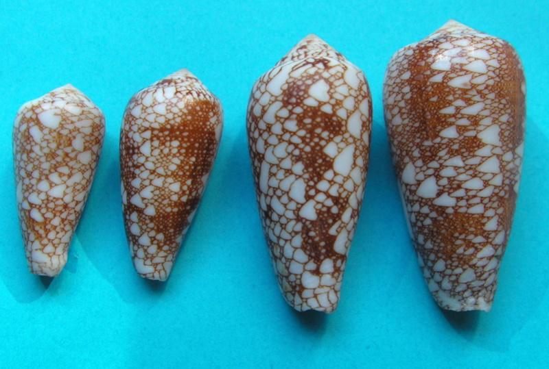 4 Conus du Japon a identifier = conus_viperinus Pict7310