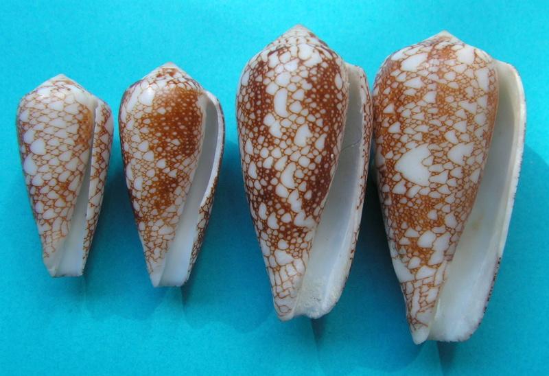 4 Conus du Japon a identifier = conus_viperinus Pict7311