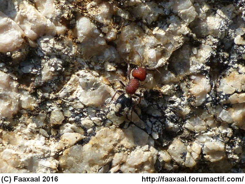 [résolu]Fourmi de Corse, Mutilla quinquemaculata Aap10310
