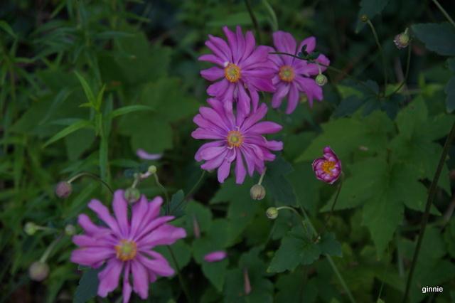 Floraisons du mois de septembre - Page 11 Imgp7325