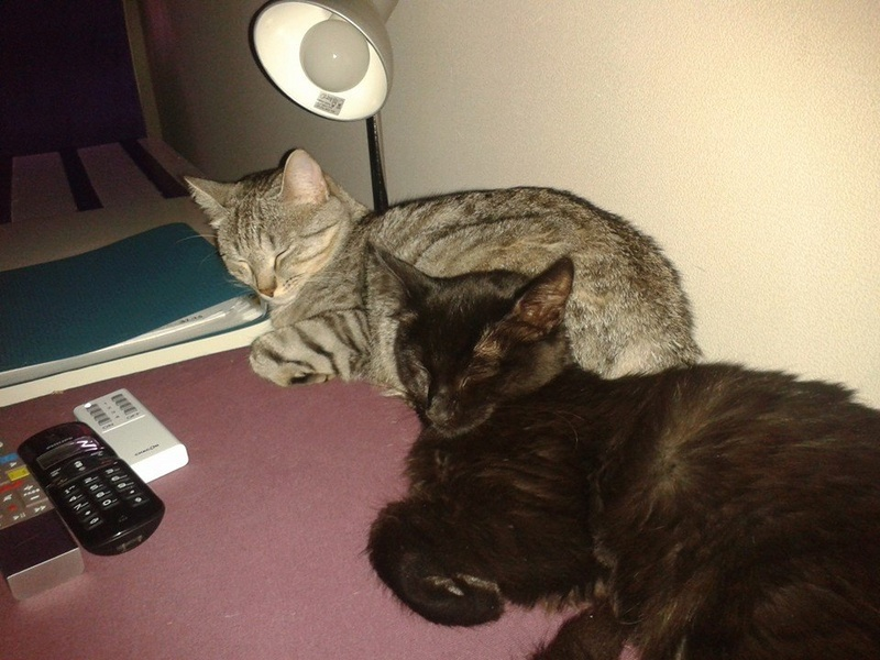 DOMINO (chaton mâle poils mi long) 14441011