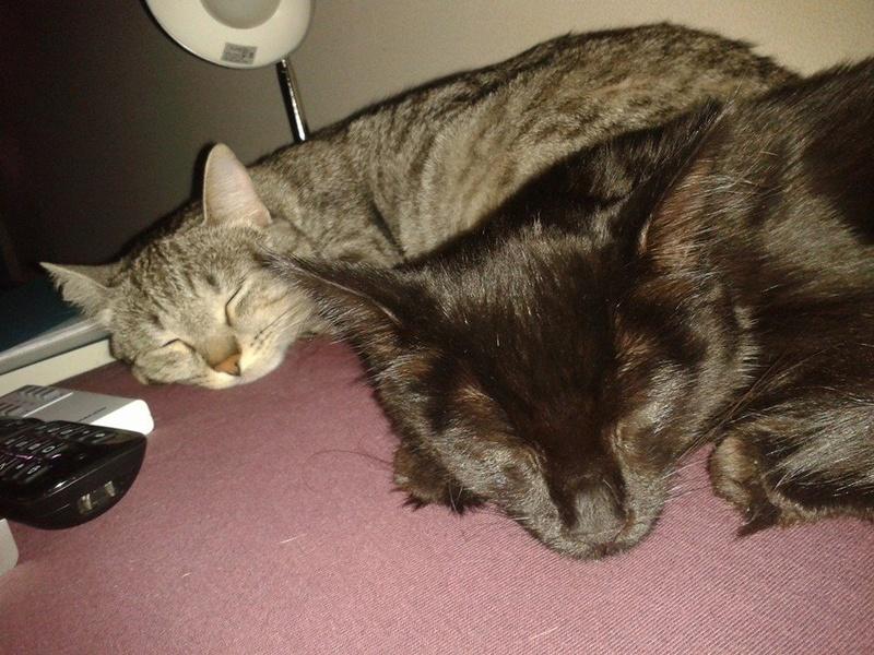 DOMINO (chaton mâle poils mi long) 14448710