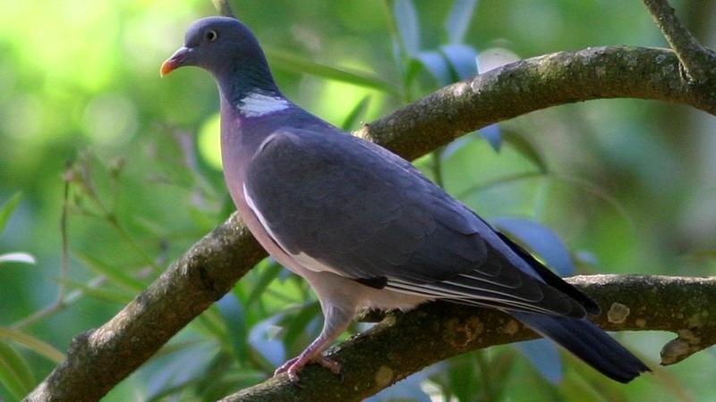 pigeon ramier Columb10
