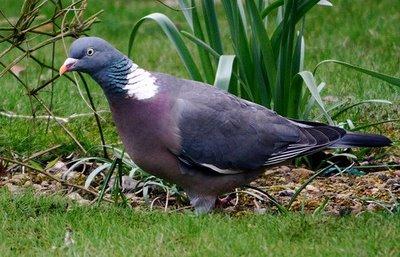 pigeon ramier Palomb11